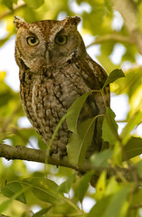 Not Bothered By Me (Texaselephant) Tags: owl screechowl bird texas feathers red