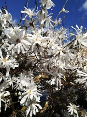 Magnolia (daveandlyn1) Tags: bush tree magnolia flowers white ourgarden pralx1 p8lite2017 huawei smartphone psdigitalcamera cameraphone somebluesky lookingup