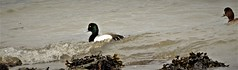 Mille Knox~~Greater Scaup  03'25/2019 (CatsMan2) Tags: greaterscaup pointrichmond richmond calif duck