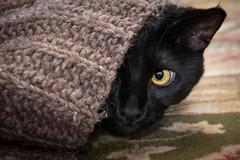 Peek-A-Boo Kitty (helenehoffman) Tags: purrcival cute blackcat pet black cat purrc feline blanket animal