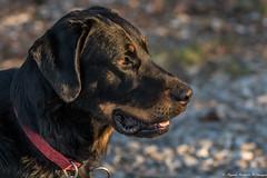 Le regard.. (Elyane11) Tags: hautesavoie france chien beauceron charly soeilcouchant profil