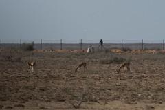 Chinkara (iamfisheye) Tags: february 300mm vr naturetrek nikon f4 india d500 naliyagrasslands xqd afs tc14iii pf greatrannofkutch 2019 raremammalsandbirdsofgujarat gujarat