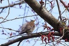 Fieldfare (Jurek.P2 - new account) Tags: bird birds ptaki ptak kwiczoł fieldfare closeup spring jurekp2 sonya77