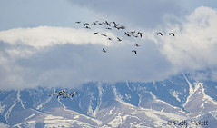 snow geese (Pattys-photos) Tags: snow geese camasnationalwildliferefuge idaho pattypickett4748gmailcom pattypickett