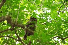 Barred Owl (Streetfire2007) Tags: owl bird nature sony a7ii 24240mm fl babcock ranch