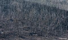 Patterns of disaster (Photosuze) Tags: burned trees charred landscape fire aftermath devastation destruction california