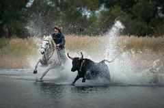 YiiiHaaaa (MrBlackSun) Tags: black bull camargue france nikon d850