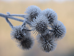 Pompons piquants **--- ° (Titole) Tags: thorny titole frost nicolefaton shallowdof friendlychallenges thechallengefactory