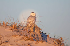 Queen ( or King) of the dunes... (DTT67) Tags: snowyowl owl moon dunes beach raptor 5dmkiv canon birdofprey bird wildlife nature