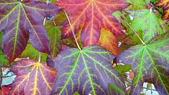 20101119 Fall (Wes Albers + Becky Albers) Tags: travel vacation usa california lagunabeach season autumnfall leaf