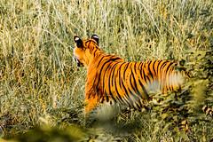 Tiger (michellefedosoff) Tags: india travel tiger jungle wildlife nature cat animal