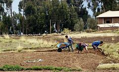 18 2700 - Pérou, lac Titicaca, ile d'Amantani, travaux des champs (Jean-Pierre Ossorio) Tags: pérou titicaca campagne travauxdeschamps paysan amantani