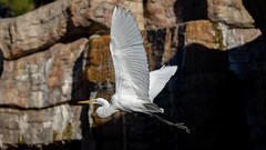 Great Egret in flight (Bob Worthington Photography) Tags: zoo122918 sandiegozoo canon7dmarkii canon70200f28lisii