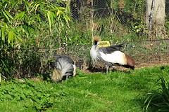 Grey Crowned Crane (Wildlife Terry) Tags: martin mere wildlife wetlands trust domestic escapee ornamental wildfowl waterbirds ducks geese swans lancashire northwestengland