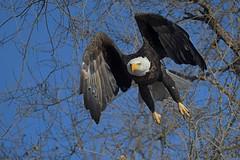 Bald eagle ( Haliaeetus leucocephalus) in flight (rangerbatt) Tags: baldeagle haliaeetusleucocephalus eagle d7500 sigma150600mmsports utahwildlife bird jordanriver wildutah baldeagleinflight eagleinflight bif birdinflight