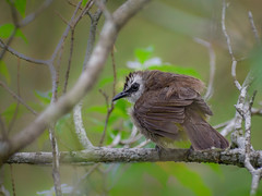 Yellow-vented bulbul in tree (Robert-Ang) Tags: bird animal wildlife animalplanet bulbul yellowventedbulbul nature japanesegarden singapore pycnonotusgoiavier
