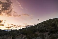 14/365 Jan 14, 2019 Sunshine State = Sunset State? (acyee) Tags: flickr acyee project365 365 cactus cacti saguaro arizona 3652019