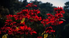 Poinsettia (Euphorbia pulcherrima) in backlight (heikki.nylund) Tags: poinsettia euphorbiapulcherrima backlight lasrosas lagomera canaryislands spain