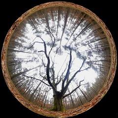 An old beech keeps the conifers at a distance (modest photo maker) Tags: wald lichtung buche winter fischauge forestglade beech fisheyelens 360degrees 360°