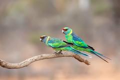 376A7725 (bon97900) Tags: birds ringneck mallee malleeringneck australianringneck gluepotreserve southaustralia colour parrot