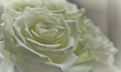 Rose is a Rose (wilma HW61) Tags: smileonsaturday roseisarose roos witteroos rose rosa rosabianca roseblanche whiterose macro focus depthoffield dull doff bloem flower flor fleur flora floral floreale nederland niederlande netherlands natuur nature natur naturaleza nikond90 holland holanda paysbas paesibassi paísesbajos europa europe wilmahw61 wilmawesterhoud hsos
