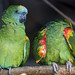 Two blue fronted amazons