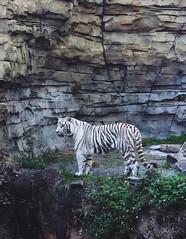 IMG_9546 (2) (FlyNerdy) Tags: travel bengaltiger whitetiger buschgardens tampa florida tigers bigcats nature tiger