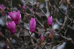 Japanese Magnolia (bamboosage) Tags: auto takumar 55 f2 m42