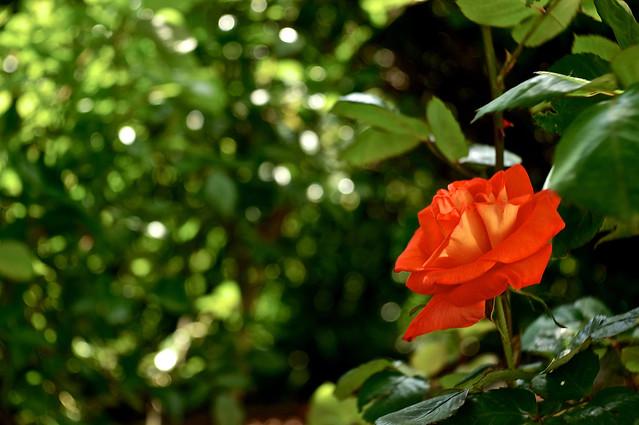 Обои зелень, роза, боке, алая роза картинки на рабочий стол, раздел цветы - скачать