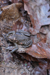 Little Fellow (dorward) Tags: eridgerocks frog tunbridgewells kent nature royaltunbridgewells england unitedkingdom gb