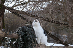 Richard Gere ❅ (Xena*best friend*) Tags: richardgere rg cats whiskers feline katzen gatto gato chats furry fur pussycat feral tiger pets kittens kitty animals piedmontitaly piemonte canoneos760d italy wood woods wildanimals wild paws calico markings ©allrightsreserved purr digitalrebelt6s efs18135mm flickr outdoor animal pet photo nature winter cold catlover snow frozen freezing winterwonderland ilovewinter ilovesnow catsinthesnow catshavingfuninthesnow wonderfulwinter snowcat photogeniccats