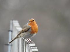 Oh no its spitting (Simply Sharon !) Tags: robin bird wildlife britishwildlife nature gardenbird inthegarden gardenvisitor march