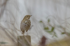 46/365 Hermit Thrush (Maggggie) Tags: gbbc 2019 birds hermitthrush backyard 365 takeaim post