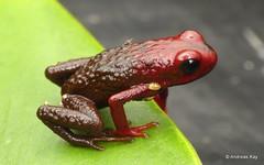 Poison dart frog, Excidobates condor, Dendrobatidae (Ecuador Megadiverso) Tags: amazon amphibian andreaskay cordilleradelcóndor dendrobatidae ecuador elquimi excidobatescondor frog poisondartfrog rainforest tropic
