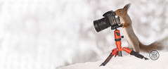 Red squirrel standing behind an camera in the snow (Geert Weggen) Tags: squirrel camera red animal backgrounds bright cheerful close color concepts conservation culinary cute damage day earth environment environmental equipment love winter snow photo model footer shot shoot photographer bispgården jämtland sweden geert weggen hardeko ragunda