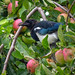 Magpie eating apples, 2018 Aug 28