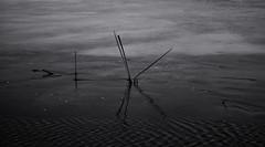 On the pond melts ice. Monochrome. (ALEKSANDR RYBAK) Tags: изображения монохромный вода лёд камыш весна природа сезон season nature images monochrome water ice reed spring