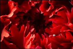 Waiting for Virgil... (Altazur) Tags: macromondays hardlight carnation dianthuscaryophyllus red virgil hell flower petals macro abstractmacro