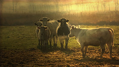 Colors are the smiles of nature. Leigh Hunt (genevieve van doren) Tags: damme cow vaches light lumière