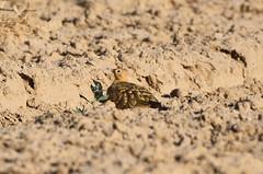Chestnut-bellied sandgrouse (praveen.ap) Tags: chestnutbelliedsandgrouse sandgrouse