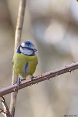Cyanistes caeruleus (Phil du Valois) Tags: cyanistes caeruleus mésange bleue eurasian blue tit oiseau faune sauvage libre wild wildlife free