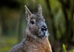 Pampashase ..... (Fritz Zachow) Tags: hase pampashase tierpark hagenbeck hamburg germany säugetier