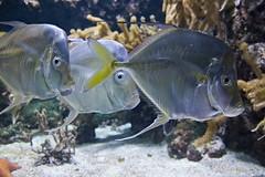 Poissons-alain leveque (alain leveque) Tags: wall paper fond ecran fish poissons aquarium rochelle 17000
