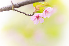 in the spring waves (hitohira_) Tags: flower flowers nature bokeh macro cherry