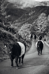 Gridlock (Benjamin Driver) Tags: cow cows road monochrome black white blackandwhite line animal stare cattle trees tree cloud clouds