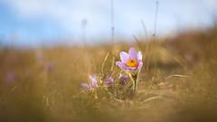 Aufbegehren (richard.kralicek.wien) Tags: spring flowers bokeh macro