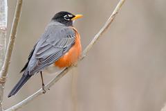 American Robin (mnolen2) Tags: robin bird nature wildlife americanrobin