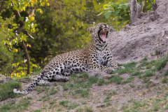 The yawn (Thomas Retterath) Tags: thomasretterath nature natur safari nopeople 2018 okavangodelta botswana africa afrika khwai adventure wildlife abenteuer pantherapardus bigfive leopard felidae raubtiere predator carnivore säugetier mammals animals tiere tomcat cub termitenhügel termitemount gähnen yawn teeth zähne zunge tongue