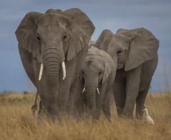 _A130094 (BergsPix) Tags: elephants africa kenya safari amboseli masaai mara samburu tusks mammals