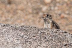 Alert Antelope Squirrel (Kukui Photography) Tags: desert antelope squirrel arizona wildlife backyard tucson desertantelopesquirrel